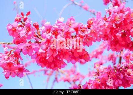 El tiempo de primavera con hermosas flores de cerezo rosa sakura flores.