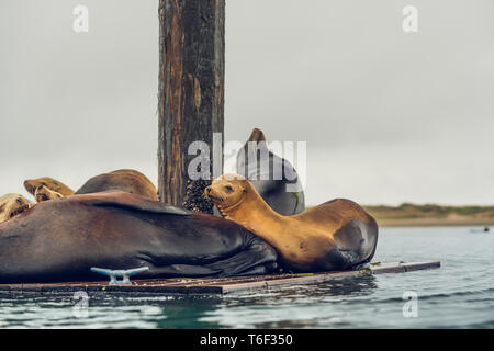 La colonia de focas en Morro Bay, California