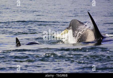 Las orcas son saltando sobre la superficie