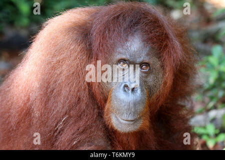 Borneo-Orang-Utan (Pongo pygmaeus) - Asia Malasia Borneo Semenggoh