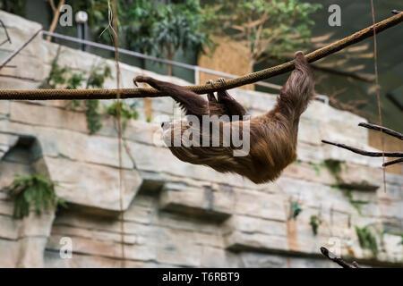 Pereza subir alrededor de su recinto en el zoológico.