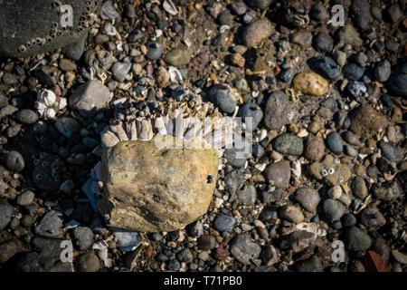Una gran roca está parcialmente cubierto de percebes en una playa de guijarros en el Sacerdote Point Park, Olympia, WA.