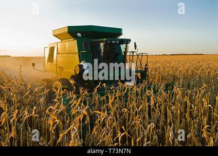 Una cosechadora trabaja en un campo de alimentación/grano maduro durante la cosecha de maíz, cerca de Niverville; Manitoba, Canadá