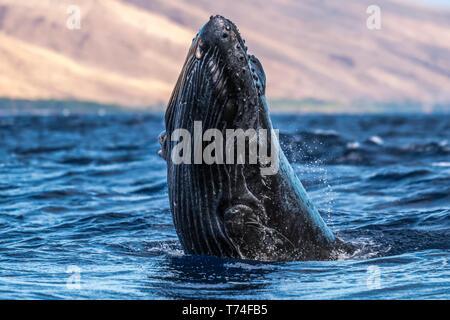 Jóvenes de la ballena jorobada (Megaptera novaeangliae) cabeza de lunge; Lahaina, Maui, Hawai, Estados Unidos de América