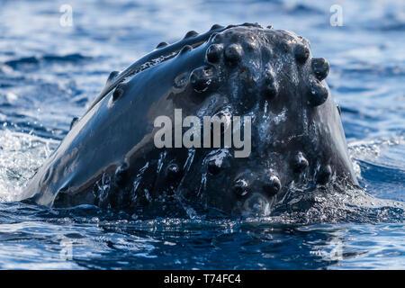 La ballena jorobada (Megaptera novaeangliae); spyhopping Lahaina, Maui, Hawai, Estados Unidos de América