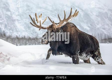 Mature bull moose (Alces alces) con cuernos derramada de terciopelo caminando en la nieve, Alaska Wildlife Conservation Center, el centro-sur de Alaska