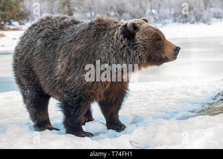 Hembra en cautiverio oso grizzly (Ursus arctos horribilis) de pie sobre la nieve, Alaska, Wildlife Conservation Center, el centro-sur de Alaska
