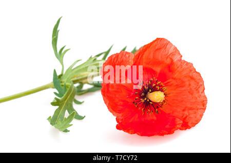 Amapola Roja flor aislado sobre fondo blanco.