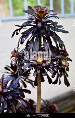 Rosa Negra - Aeonium arboreum Zwartkop ''