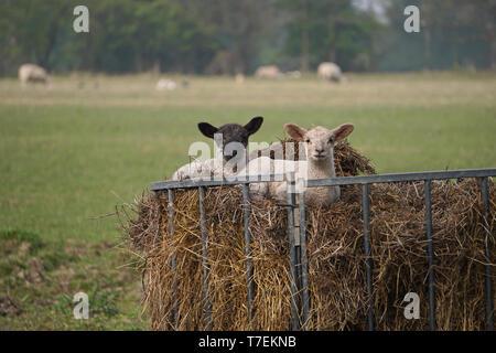 Dos corderos descansando en una tolva de heno en una granja de Inglaterra, Reino Unido.