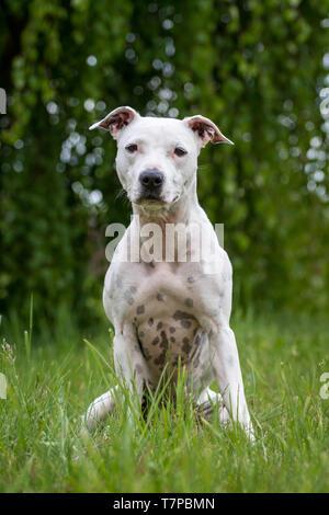 White American Pit Bull Terrier perrita sentado en la pradera