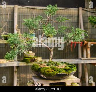 Bonsai en el Jardin de Corazon jardín Japonés, La Serena, Chile