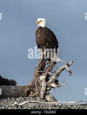 El águila calva de volar y la pesca cerca de Homer, Alaska