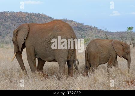 Bush elefantes africanos (Loxodonta africana), la madre y el bebé elefante, espalda contra espalda, alimentándose de pasto seco, el Parque Nacional Kruger, Sudáfrica, África