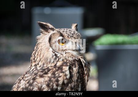 Búho Real euroasiática en maderas Turbary Owl & Bird Sanctuary Foto de stock
