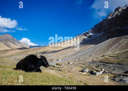 La India, en el estado de Jammu y Cachemira, en el Himalaya, Ladakh, Bajo Zanskar, Lonely yak cerca Photoksar (4120m) Foto de stock