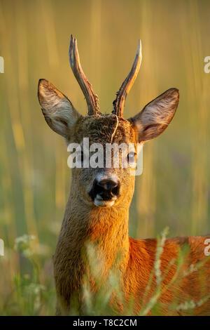 Close-up de corzo Capreolus capreolus, Buck de pie en la pasada noche los rayos del sol en verano en la hierba alta. Roebuck silvestre con vegetación de piezas en antle