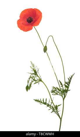 Rojo salvaje, Papaver rhoeas flor de adormidera, con tallo largo, brotes y hojas, aislado sobre fondo blanco.