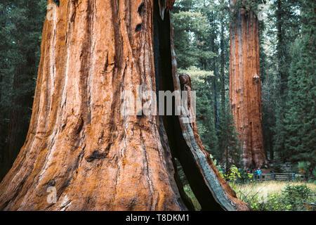 Vista panorámica del famoso secoyas gigantes, también conocidas como secoyas gigantes o Sierra secuoyas, en un hermoso día soleado con verdes prados en verano, se