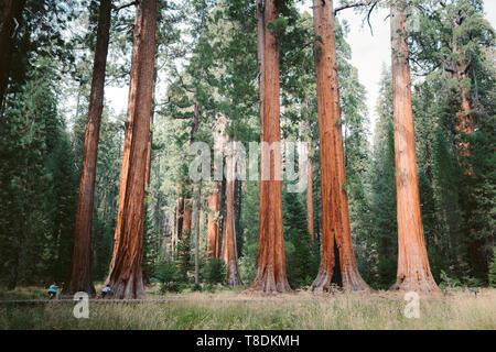 Vista clásica del famoso secoyas gigantes, también conocidas como secoyas gigantes o Sierra secuoyas, en un hermoso día soleado con verdes prados en verano, S