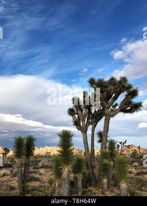 Los árboles Joshua, el Parque Nacional Joshua Tree National Park, California, Estados Unidos