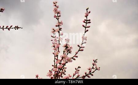 Peach Pink flores contra el cielo nublado en el tiempo de primavera
