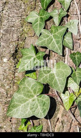 Hojas de Hedera helix (Hiedra común, Hiedra, hiedra europea) creciendo un árbol en invierno en el Reino Unido. Foto de stock