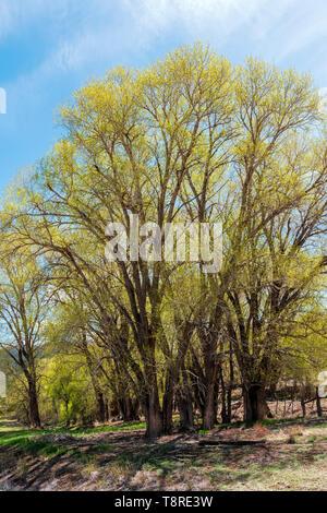 Árbol de chopo (Populus deltoides) en nueva primavera verde; bloom Vandaveer Ranch; Salida, Colorado, EE.UU.