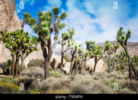 Los árboles Joshua marcan el paisaje en el Parque Nacional Joshua Tree, California.