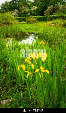 Bandera amarilla Iris por un estanque Mayo 2019