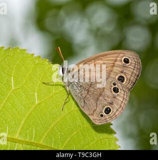 Poca madera mariposas Sátiro descansando sobre una hoja Foto de stock