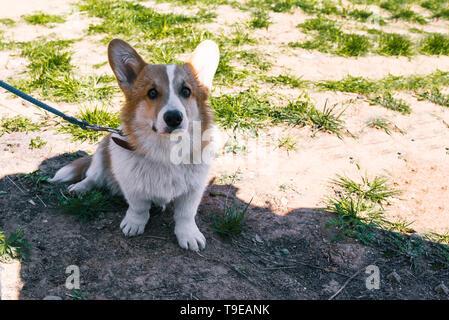 Foto de un perro corgi en la calle. Retrato de un perro pequeño. Welsh Corgi se sienta en la hierba y mira a la cámara.