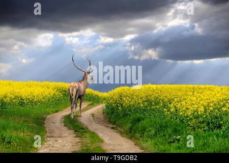 Los ciervos de pie en el camino en el campo de verano con flores amarillas