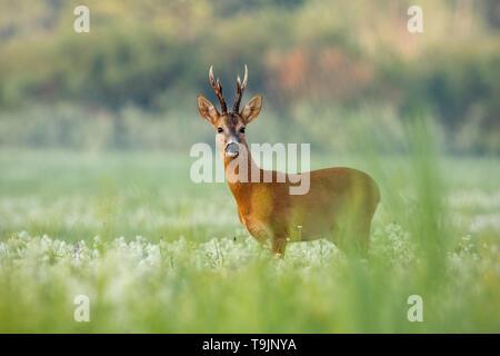 Corzo ciervo con astas oscuro en un prado con flores en verano