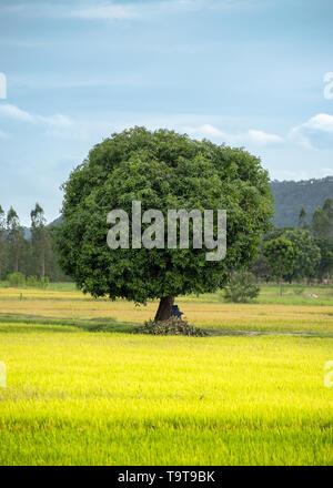 Árbol de mango en el campo de arroz con el cielo azul y el pájaro volando Foto de stock