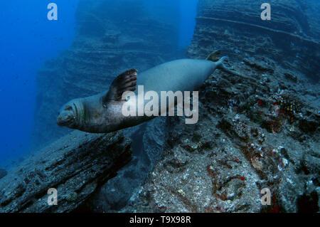 La foca monje hawaiana, Neomonachus schauinslandi, especies en peligro de extinción, Lehua Isla Niihau, Hawaii, EE.UU.