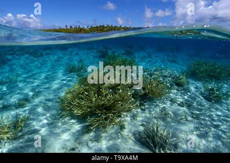 Imagen dividida de coral de cuerno de ciervo, Acropora sp., y deshabitada isla, Ailuk atoll, Islas Marshall, el Pacífico