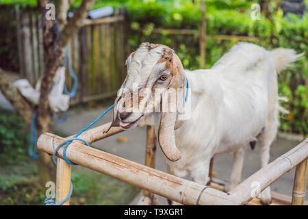 Con cuernos de cabra blanco lindo pie en una cabra en el DAES pen pen terneros lecheros