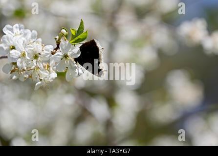 Nymphalis antiopa (Luto manto o Camberwell belleza) en una hermosa rama de cerezo en primavera Foto de stock