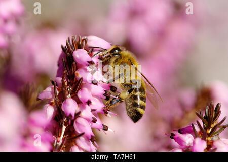 Miel de abejas (Apis mellifica Apis mellifera). Trabajador en invierno la nieve Heath, brezo (Erica carnea) flores. Alemania