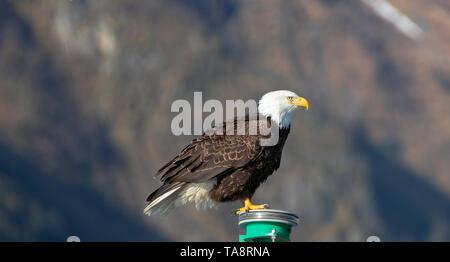 El águila calva en la Península Kenai en Seward Alaska, Estados Unidos