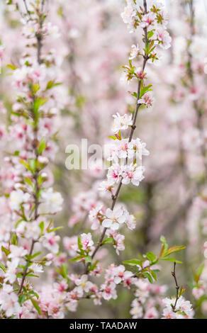 Uno de la flor rosa Flores de ciruelo florece en el jardín botánico parque en la ciudad de Wuhan, China de Hubei.