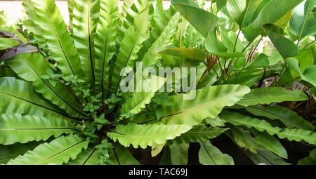 Las hojas verdes de nido de pájaro helecho en vivero de plantas agrícolas de fondo - Asplenium nidus helecho nido