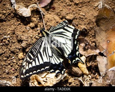 Una especie asiática china, mariposas papilio xuthus, descansa sobre el suelo entre alimentándose de flores.