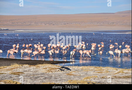 James's flamingo (Phoenicoparrus jamesi), Eduardo Avaroa Reserva Nacional, el Salar de Uyuni, Bolivia