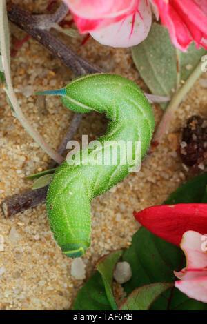 Eyed Hawkmoth (Smerinthus ocellata) caterpillar, Bretaña, Francia