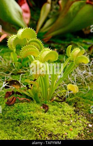 Venus atrapamoscas (Dionaea muscipula), jardín botánico de Sydney, NSW, Australia