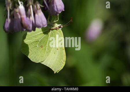 Una bonita Brimstone Butterfly, Gonepteryx rhamni, nectaring Consuelda en una flor.