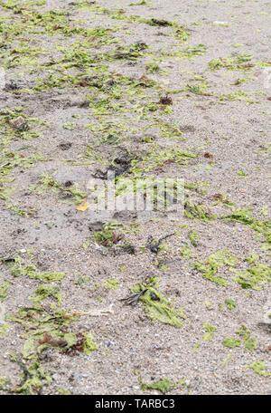 Las algas verdes lechuga de mar / Ulva lactuca arrastrado en una playa y depositado en la línea o tideline deriva. La lechuga de mar fresca es comestible.