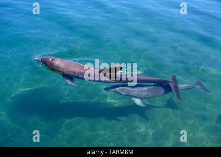 Delfín mular: ternero nadando bajo su madre en aguas someras Tursiops truncatus Foto de stock